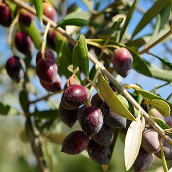 Greek-Olive-350w
